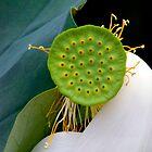 White Lotus by Janos Sison