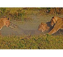 Lion -crocodile interaction 2 Photographic Print