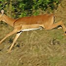 Leaping impala by jozi1
