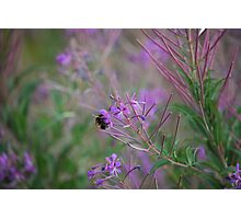 Bumble Bee on pink Flowers Photographic Print