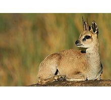 Klipspringer Buck Photographic Print