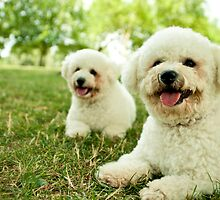 Bichon Fluffbombs by Leanne Graham