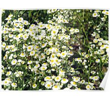 Dense thickets of small white daisies in a meadow Poster