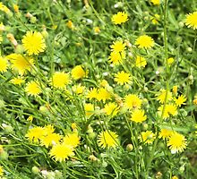 Thickets of small yellow flowers Picris Rigida at forest lawn by vladromensky