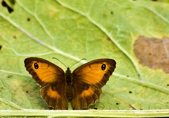 Gatekeeper Butterfly by Trevor Kersley