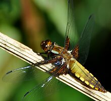 Broad-bodied chaser female by Russell Couch