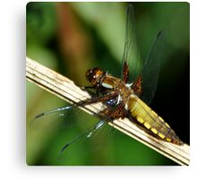 Broad-bodied chaser female Canvas Print