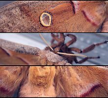 Polyphemus Moth (in detail) by Aaron Campbell