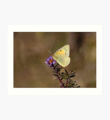 Clouded Sulfur Butterfly Art Print
