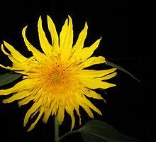 Sunflower at Night by sunshinebesley