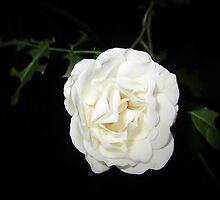 Pure White Rose by sunshinebesley