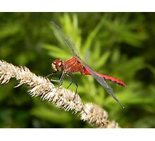A Ruby Meadowhawk dragonfly. Photographic Print