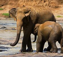 Mother and Young Asian Elephant by Neil Bygrave (NATURELENS)