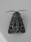 black and white moth by millymuso