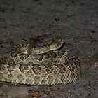 Great Basin Rattlesnake by elasita