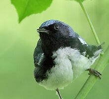 Black-throated Blue Warbler by William C. Gladish