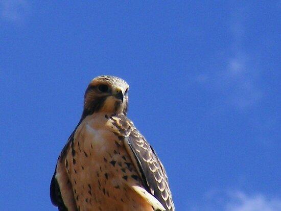 Hawk by elasita