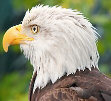 Alaskan bald eagle by jozi1