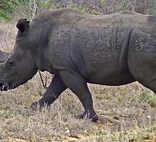 White rhino by jozi1