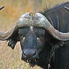 Cape buffalo by jozi1