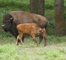 Bison,Cow and her calf by joedog