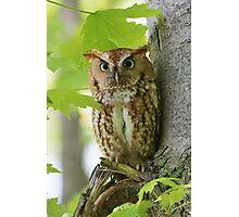 Red Screech Owl Photographic Print