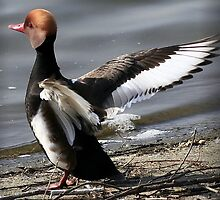 The Red Crested Pochard  by snapdecisions