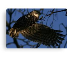 Flight Of The Little Owl - None Captive Canvas Print