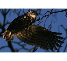 Flight Of The Little Owl - None Captive Photographic Print