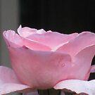 Tea Cup Rose by Sarah Trent