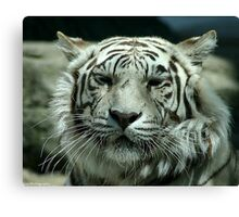 face of the white tiger Canvas Print