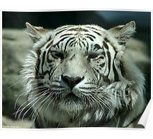 face of the white tiger Poster
