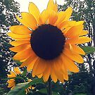 Sunflower by Mary Tomaselli