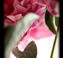 Peony 7 by tntimages