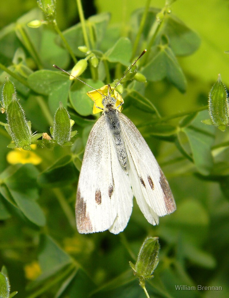 A delicate cabbage white butterfly. by William Brennan