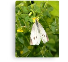 A delicate cabbage white butterfly. Canvas Print