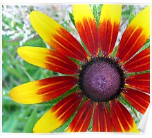 "Blackeyed Susan - ""Becky Cinnamon Bi-color"" variety Poster"