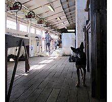 The Sheep Dog - Australian Working Kelpie Photographic Print