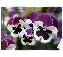 Rose Wing Pansies in Mirrored Frame Poster