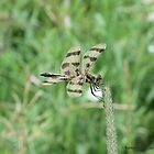 Yellow and Black Striped Dragonfly by Barberelli