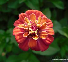 Lilliput Mix - Zinnia 4 by Barberelli