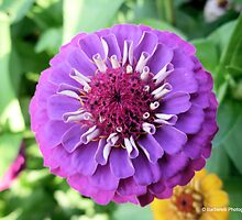 Lilliput Mix - Zinnia 6 by Barberelli