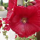 Colorful Flower, Canyon Road, Santa Fe, New Mexico by lenspiro