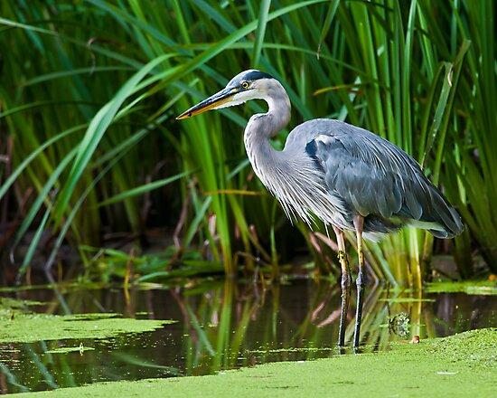 Great Blue Heron by (Tallow) Dave  Van de Laar