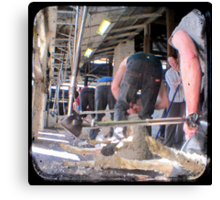 Heads Down, Bums Up - Shearing - TTV Canvas Print