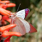 White butterfly on aloe flowers by Antionette