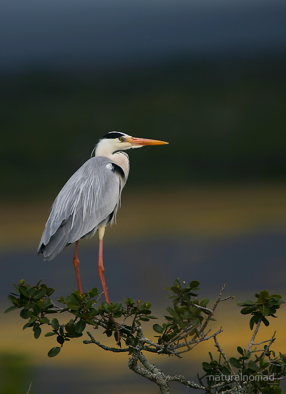 Majestic Heron by naturalnomad