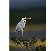 Majestic Heron Photographic Print