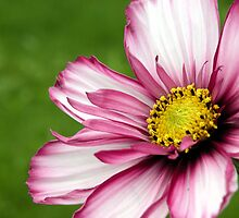 Pink and White Flower by quirkydame