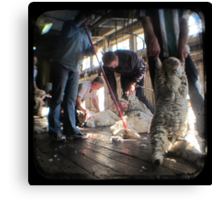 All Systems Go in the Deeargee Woolshed - TTV Canvas Print